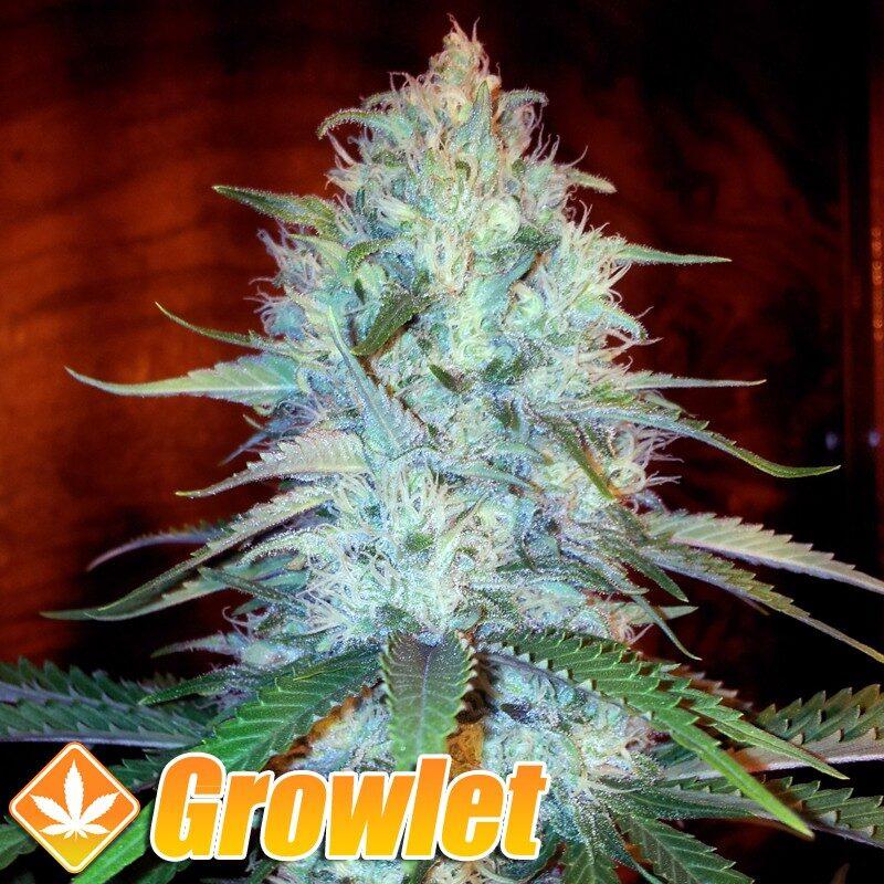 Original Amnesia semillas feminizadas de cannabis