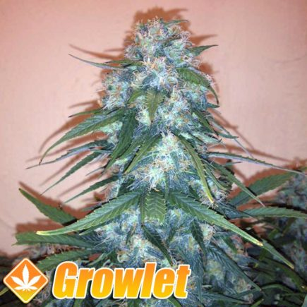 Syrup AUTO semillas feminizadas autoflorecientes de cannabis