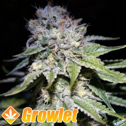 Chocolope semillas feminizadas de cannabis