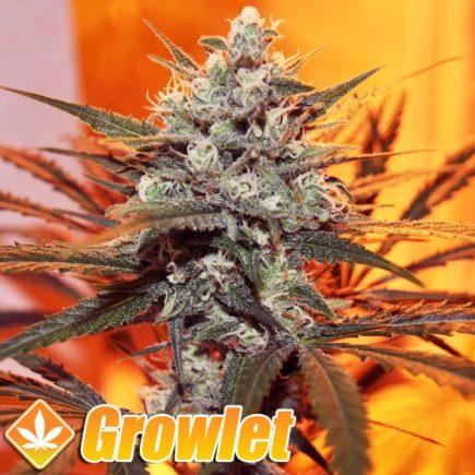 Cannalope Haze semillas feminizadas de cannabis