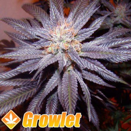 Kushberry semillas feminizadas de cannabis