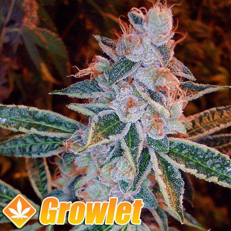 Tangilope semillas feminizadas de cannabis