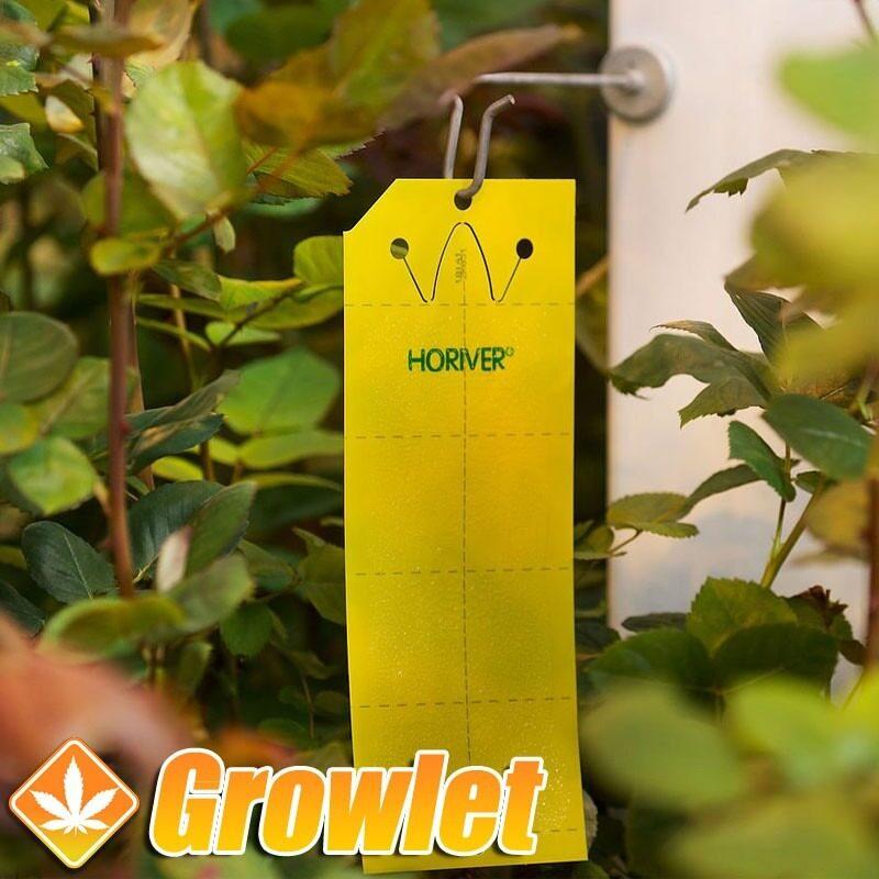 Paquete de trampas adhesivas amarillas Horiver de Koppert