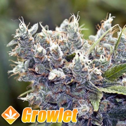 BubbleGummer semillas feminizadas de cannabis