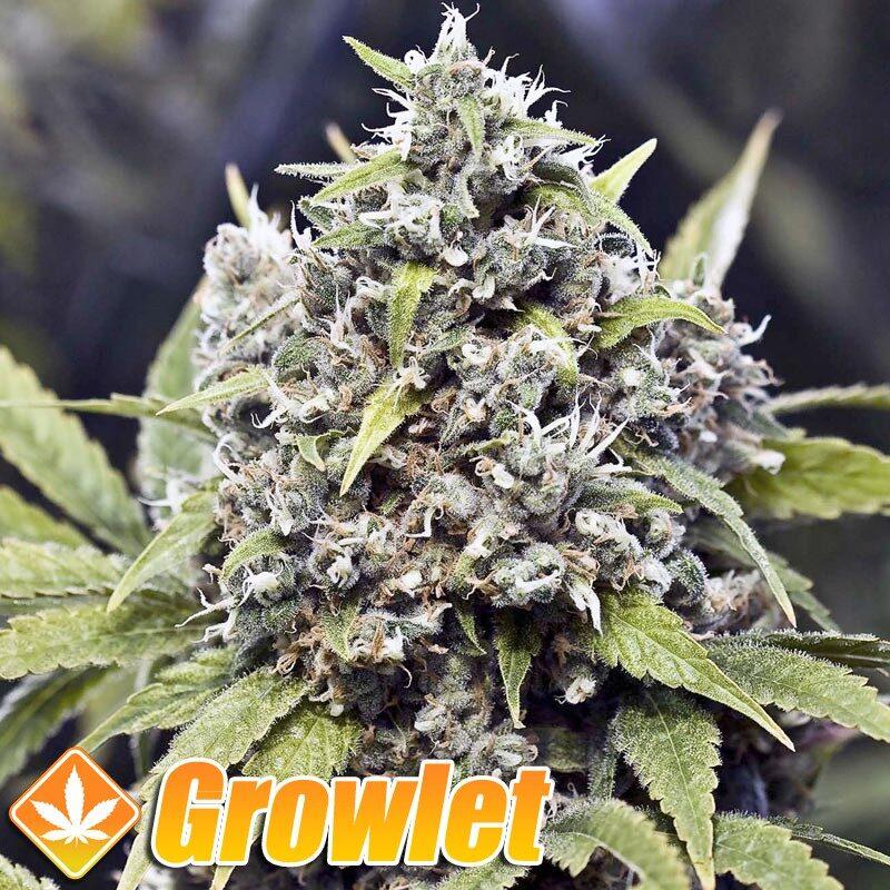 Pure AK semillas feminizadas de cannabis
