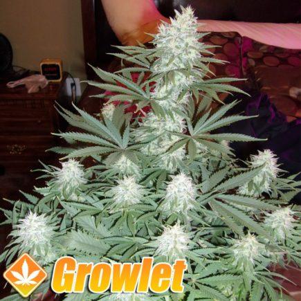 C99 Cinderella semillas feminizadas de cannabis