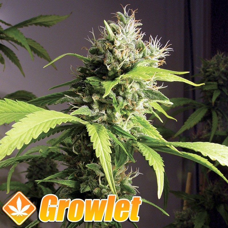 Mako Haze semillas feminizadas de cannabis