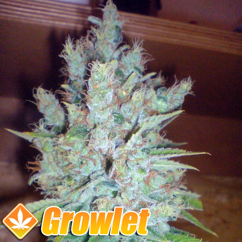 Cheesus semillas feminizadas de cannabis