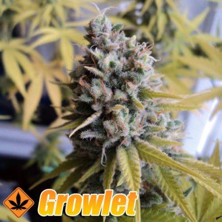 Big Foot semillas feminizadas de cannabis