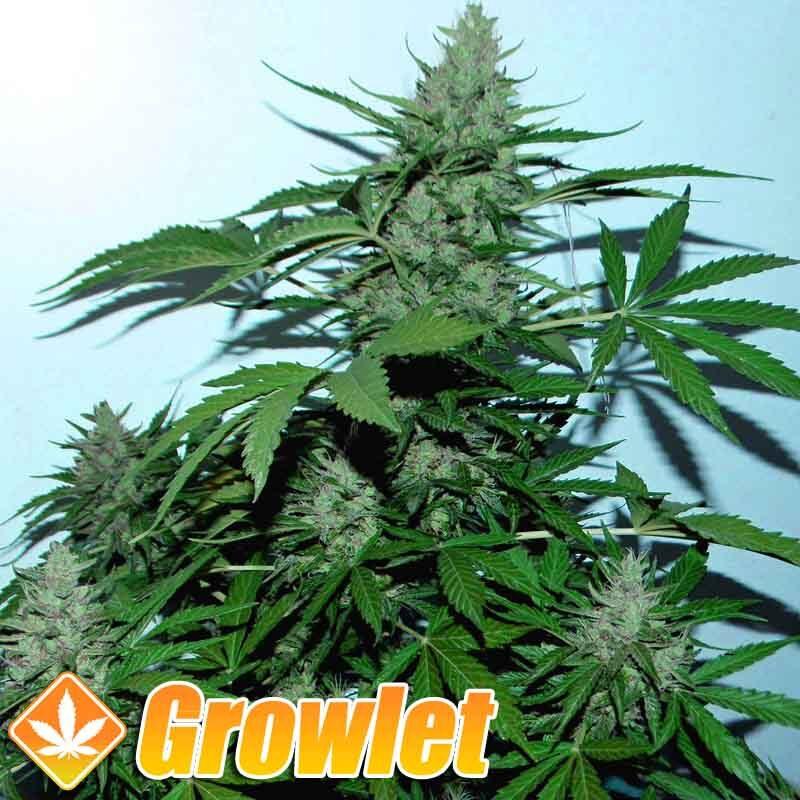 Green Poison XL Auto de Sweet Seeds