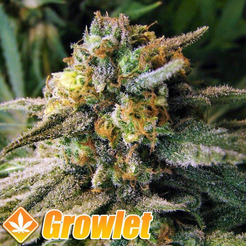 Vendetta semillas feminizadas de cannabis