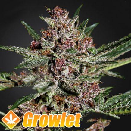 Bubba Kush semillas feminizadas de cannabis