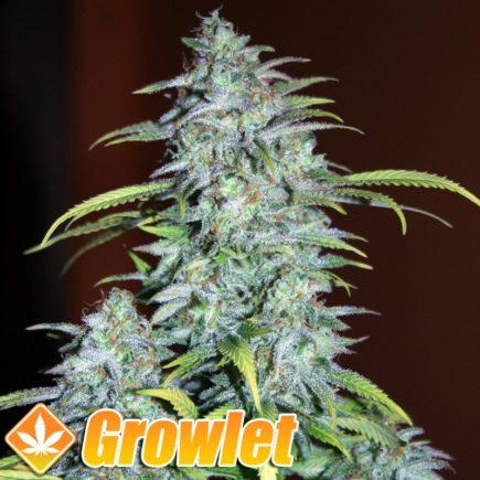 Veneno semillas feminizadas de cannabis