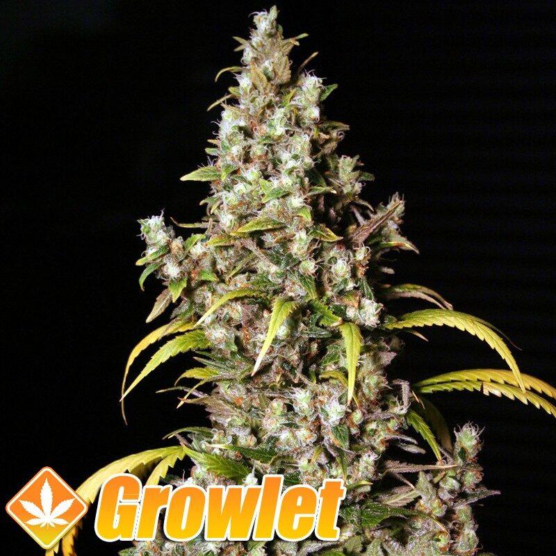 Monster semillas feminizadas de cannabis