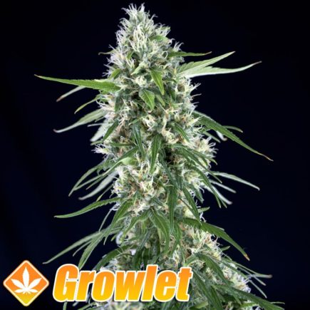 Super Silver Bilbo semillas feminizadas de cannabis