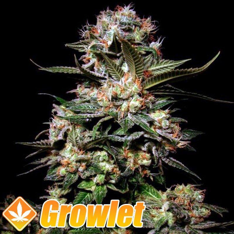 Somango semillas feminizadas de cannabis
