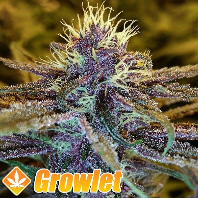 Pakistan Chitral Kush semillas regulares de cannabis
