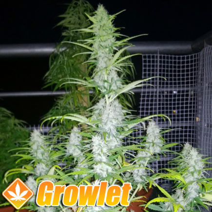 Semillas autoflorecientes Auto AK de Female Seeds
