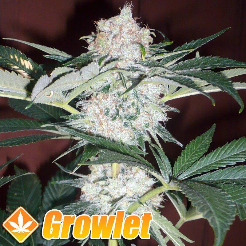 Big Bud semillas feminizadas de cannabis