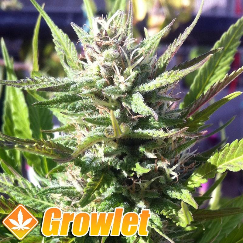 Upstream semillas feminizadas de cannabis