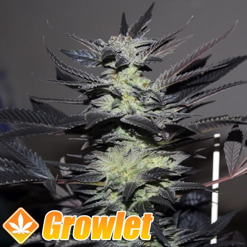 Edy semillas regulares de cannabis