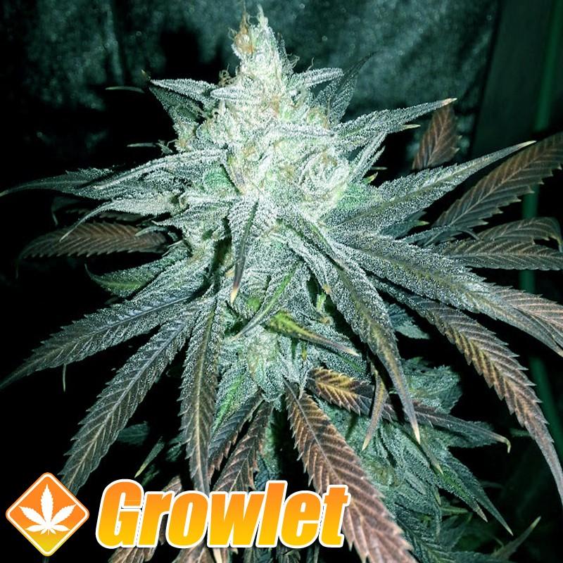 Her Majesty semillas regulares de cannabis