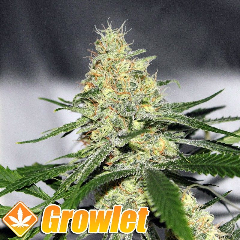 Melon Gum semillas feminizadas de cannabis