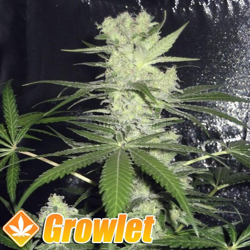 King Kong semillas feminizadas de cannabis
