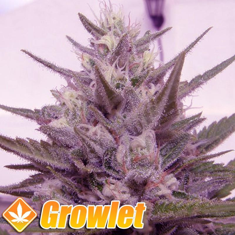 Crystal METH semillas feminizadas de cannabis