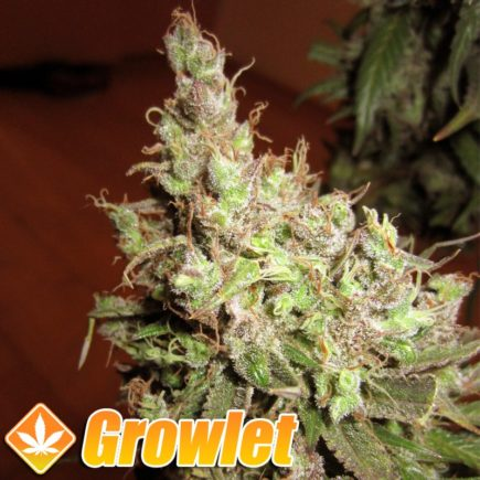 Tangerine Dream semillas feminizadas de cannabis