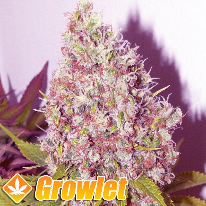 Ice semillas feminizadas de cannabis