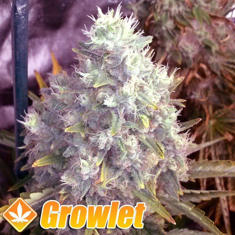 Og Kush semillas feminizadas de cannabis