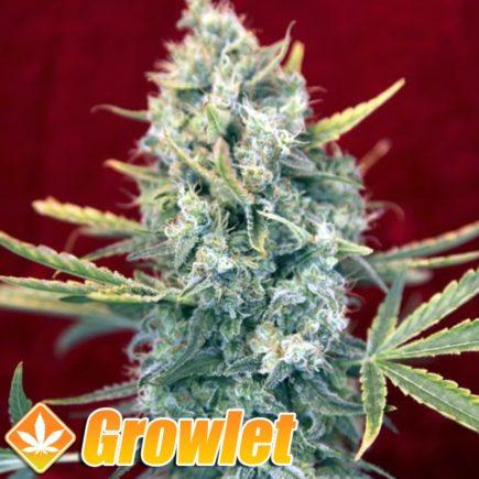 Señora Amparo semillas feminizadas de cannabis
