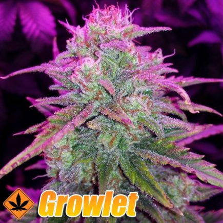 ice-cool-auto-sweet-seeds-semillas-feminizadas-cannabis.jpg