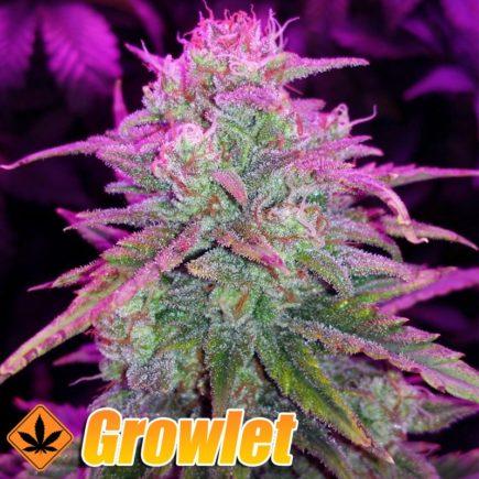 ice-cool-auto-sweet-seeds-semillas-feminizadas-cannabis.jpg
