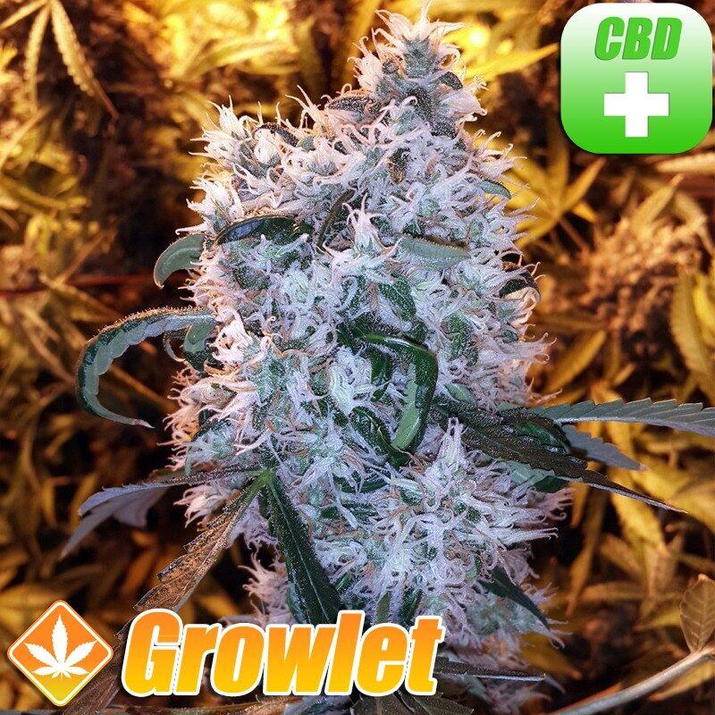 Y Griega CBD semillas feminizadas de cannabis