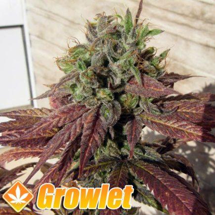 Alice semillas feminizadas de cannabis