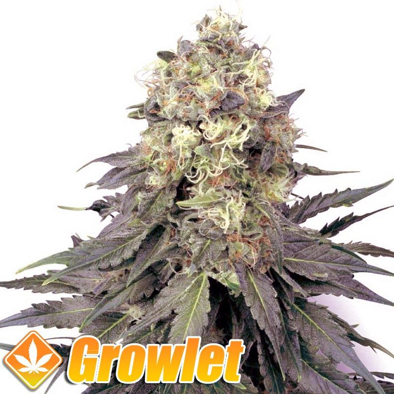 White Widow XL semillas feminizadas de cannabis