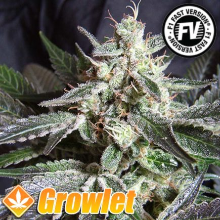 Black Jack Fast Version de Sweet Seeds
