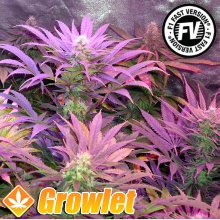 Cream Caramel Fast Version de Sweet Seeds