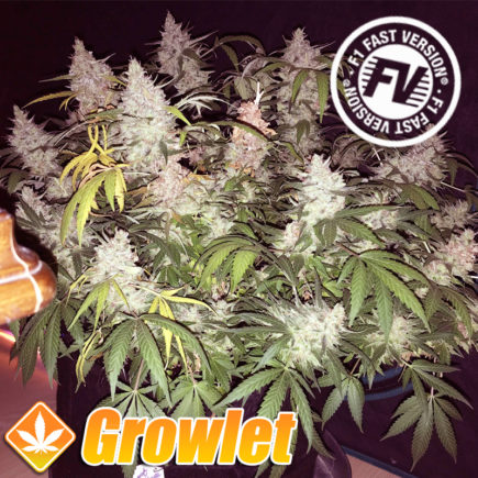 Semillas feminizadas Sweet Cheese Fast Version Sweet Seeds