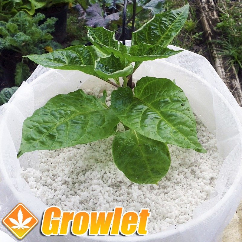 Perlita: Sustrato para el cultivo hidropónico