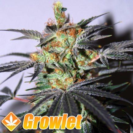 Agent Orange semillas regulares de cannabis