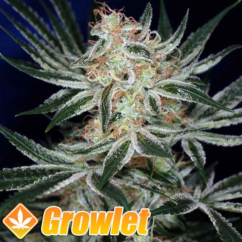 Jack the Ripper semillas regulares de cannabis