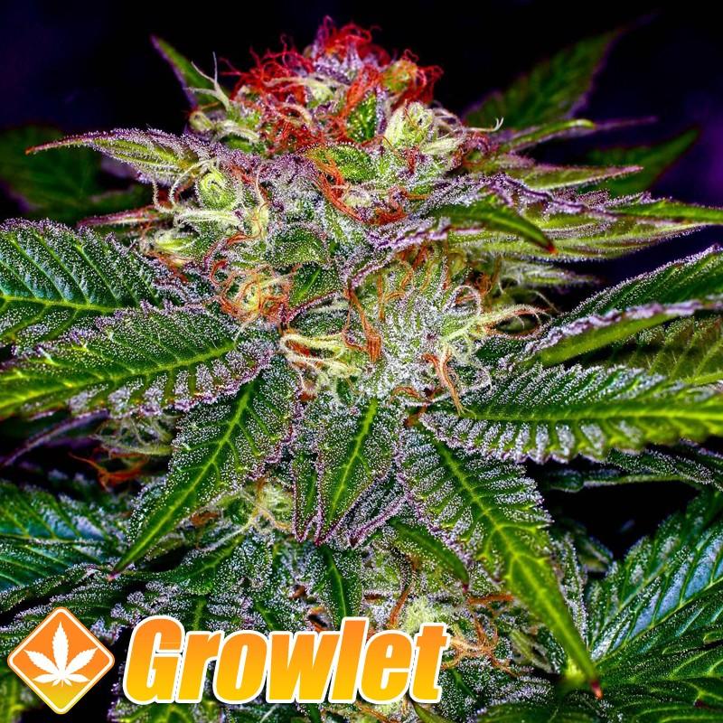 Querkle semillas regulares de cannabis