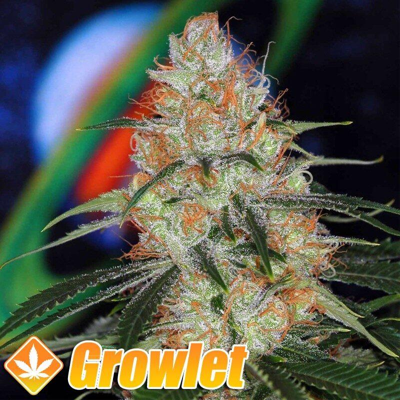 Vortex semillas regulares de cannabis