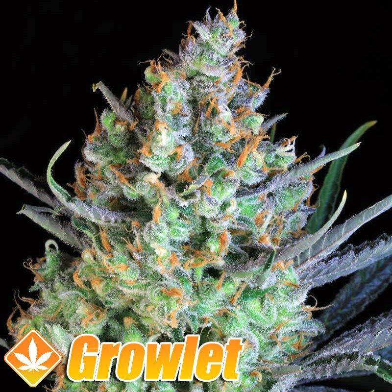 Jacks Cleaner 2 semillas regulares de cannabis