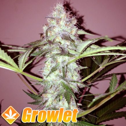 AUTO Somango semillas de cannabis feminizadas