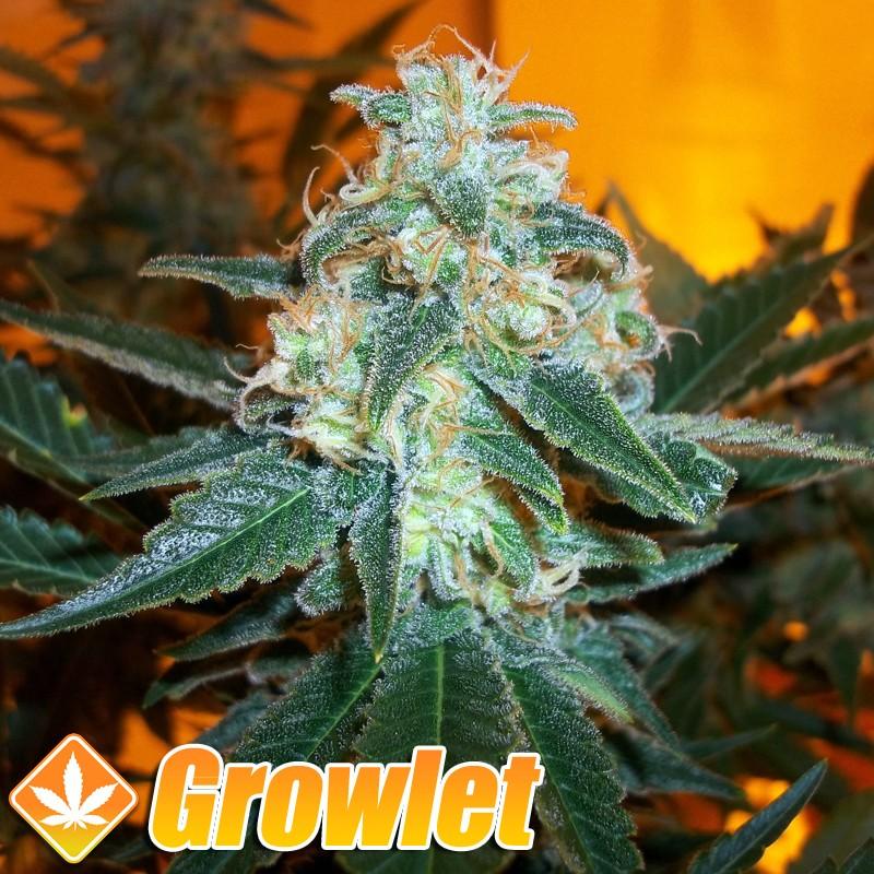 Critical + 2.0 semillas feminizadas de cannabis