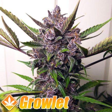 AUTO Blueberry semillas de cannabis feminizadas